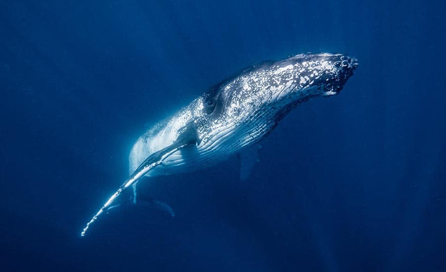 How To Swim With Humpback Whales In Western Australia